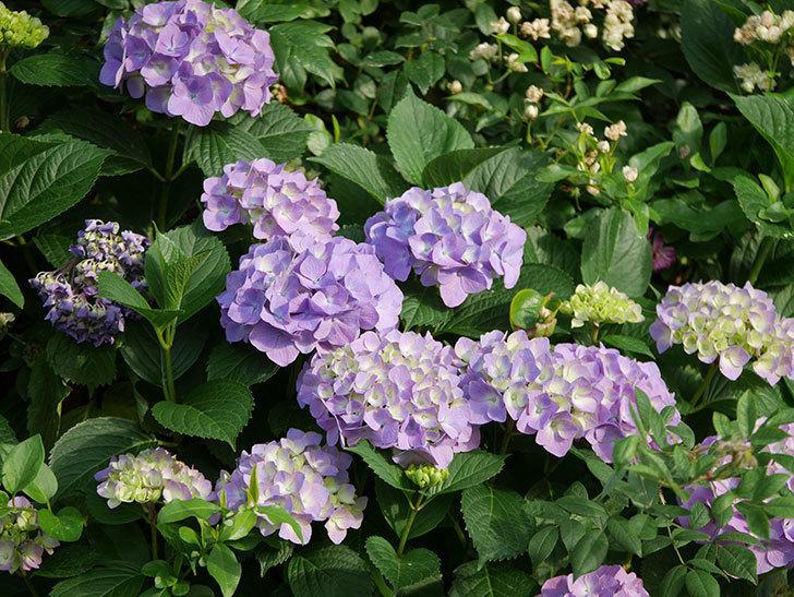 紫のアジサイの花が増えてきた。2020年-008.jpg