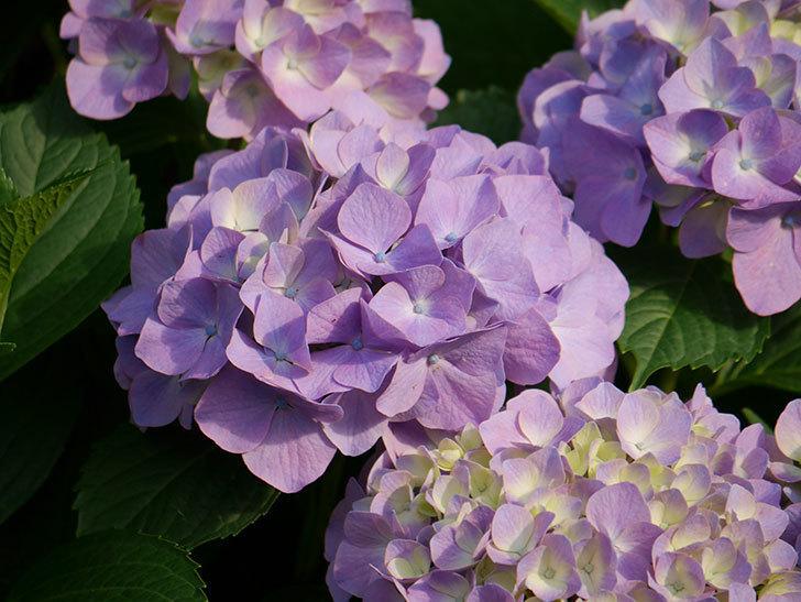 紫のアジサイの花が増えてきた。2020年-010.jpg
