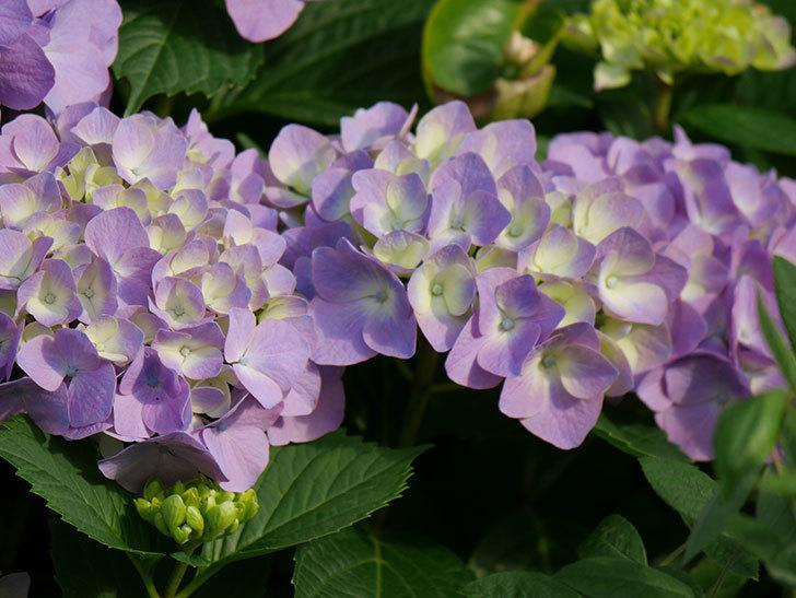 紫のアジサイの花が増えてきた。2020年-012.jpg