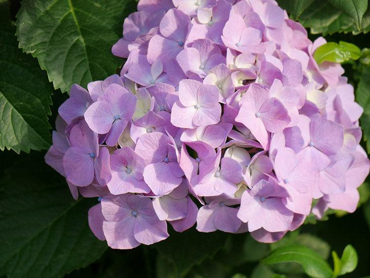 紫のアジサイの花が増えてきた。2020年-014.jpg