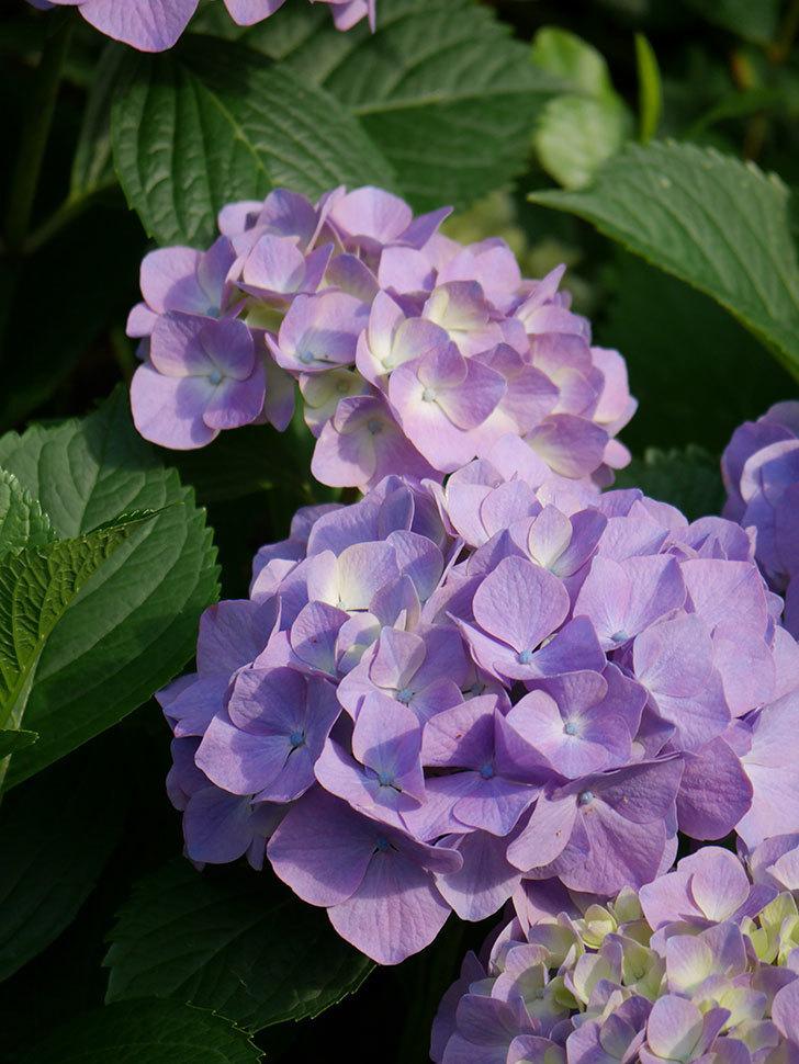 紫のアジサイの花が増えてきた。2020年-015.jpg