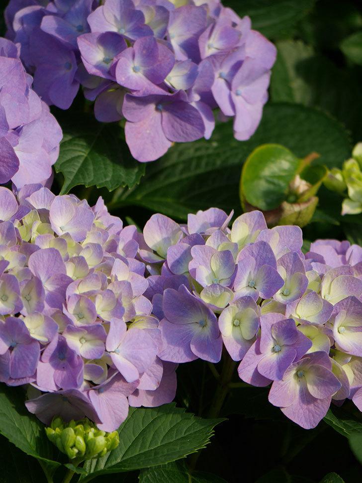 紫のアジサイの花が増えてきた。2020年-016.jpg