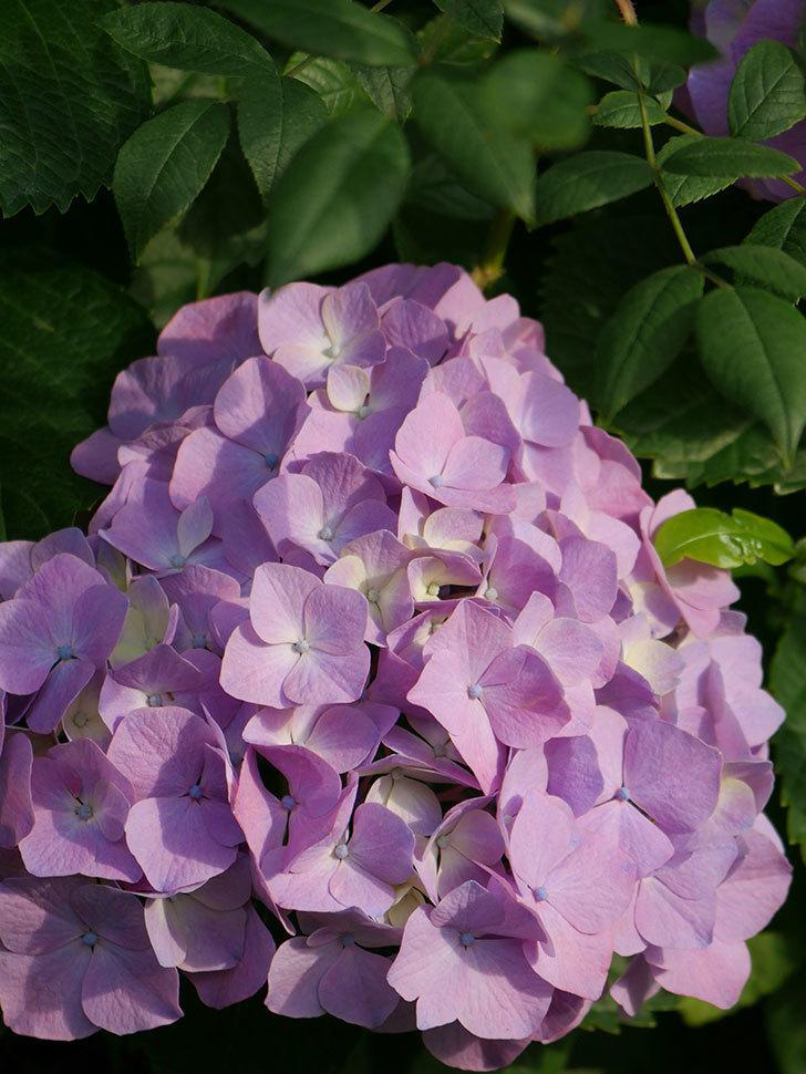 紫のアジサイの花が増えてきた。2020年-017.jpg