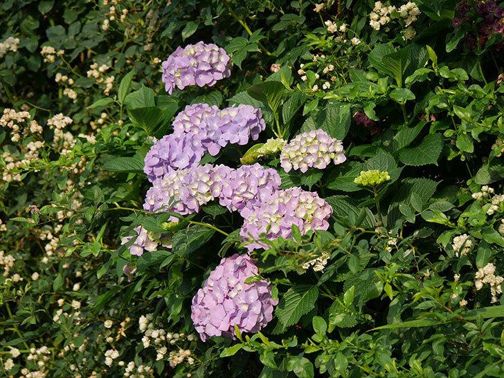 紫のアジサイの花が増えてきた。2020年-018.jpg