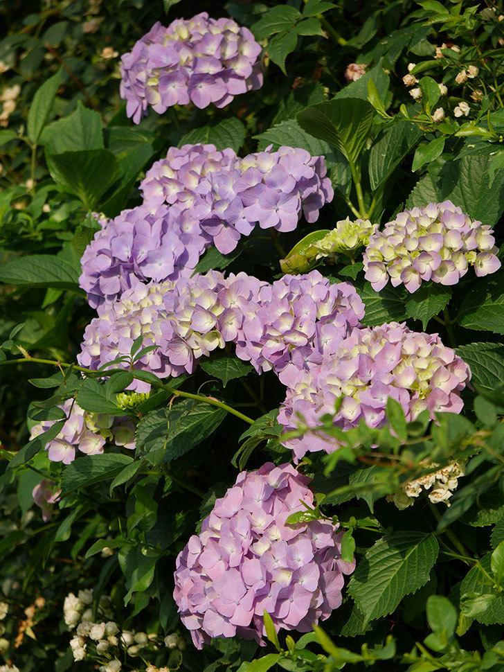 紫のアジサイの花が増えてきた。2020年-019.jpg