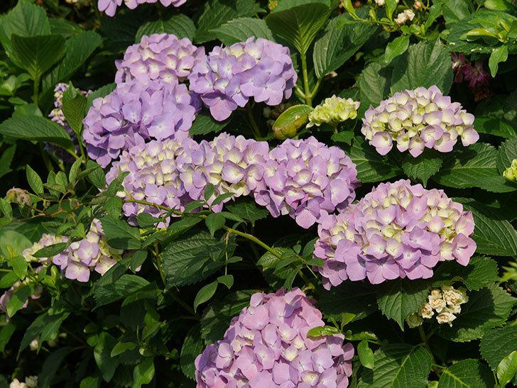紫のアジサイの花が増えてきた。2020年-020.jpg