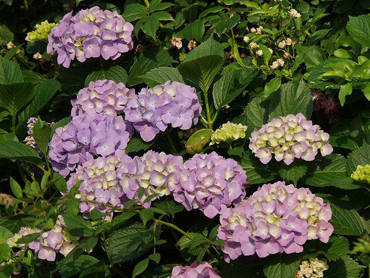 紫のアジサイの花が増えてきた。2020年-021.jpg
