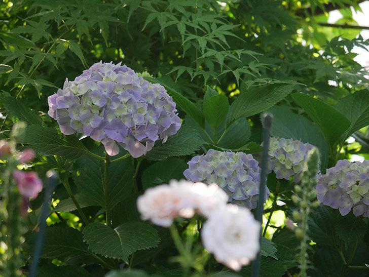 紫のアジサイの花が増えてきた。2020年-023.jpg