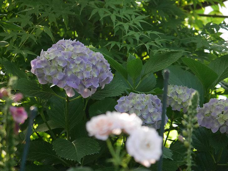 紫のアジサイの花が増えてきた。2020年-024.jpg