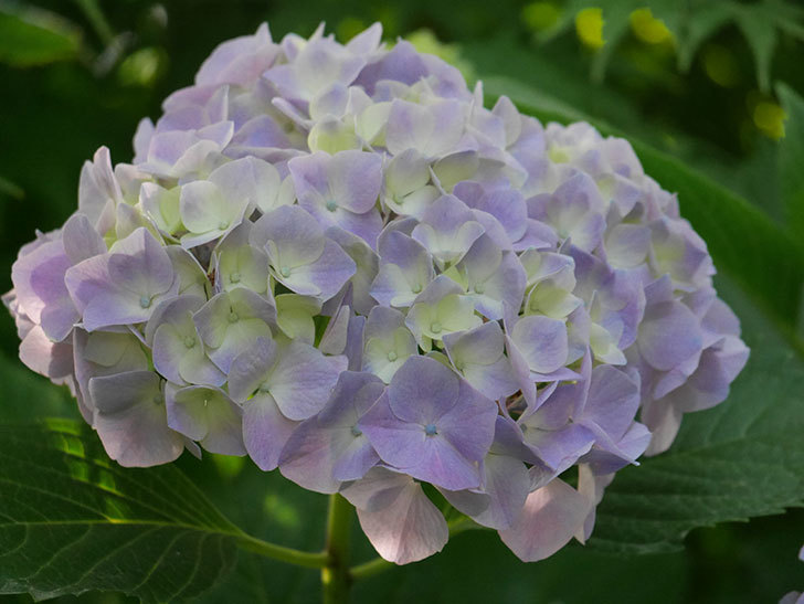 紫のアジサイの花が増えてきた。2020年-027.jpg