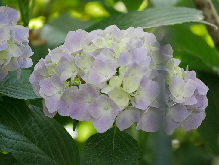 紫のアジサイの花が増えてきた。2020年-029.jpg