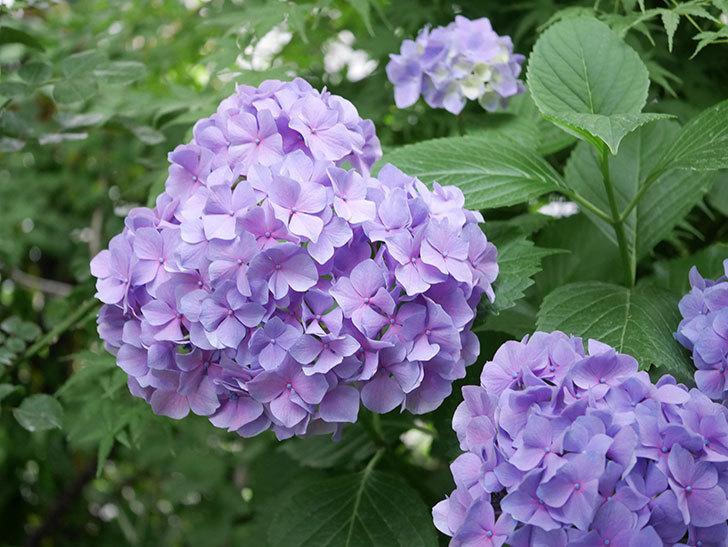 紫のアジサイの花が満開になった。2020年-001.jpg