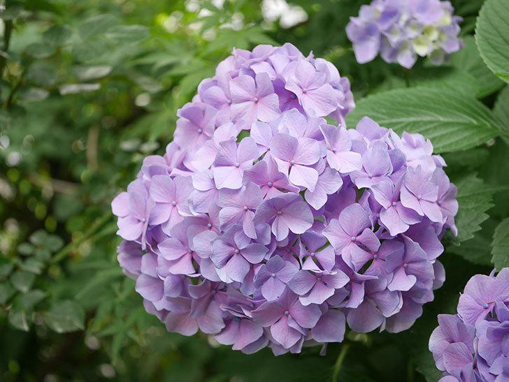紫のアジサイの花が満開になった。2020年-002.jpg