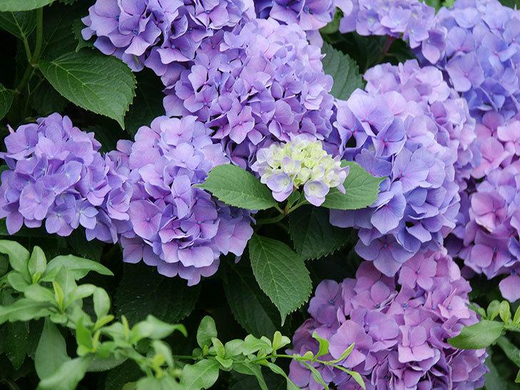 紫のアジサイの花が満開になった。2020年-005.jpg