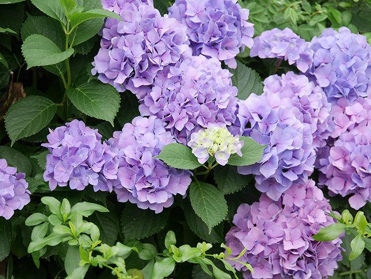 紫のアジサイの花が満開になった。2020年-006.jpg