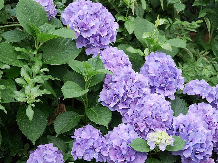 紫のアジサイの花が満開になった。2020年-007.jpg
