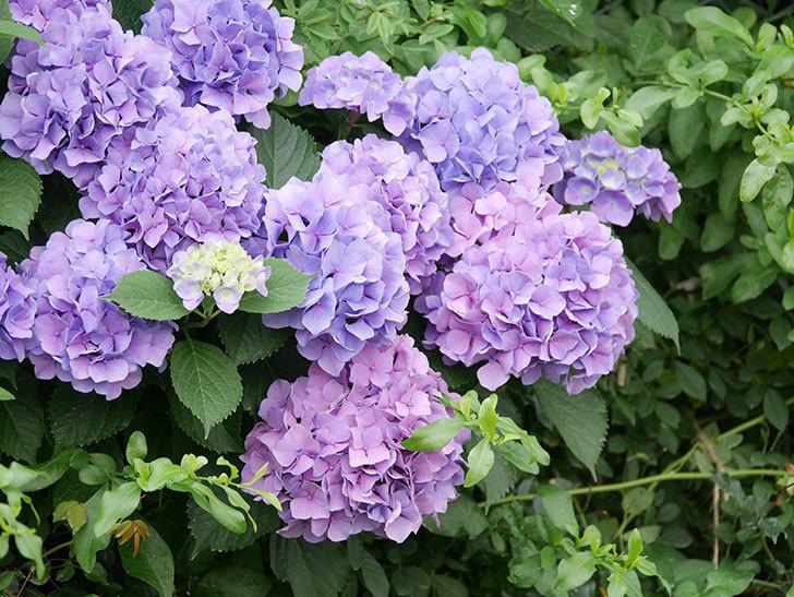 紫のアジサイの花が満開になった。2020年-008.jpg
