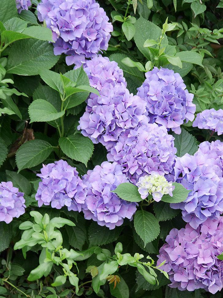 紫のアジサイの花が満開になった。2020年-009.jpg