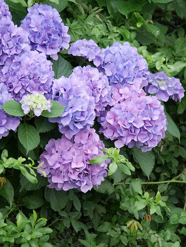 紫のアジサイの花が満開になった。2020年-010.jpg