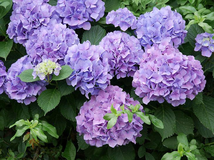 紫のアジサイの花が満開になった。2020年-011.jpg