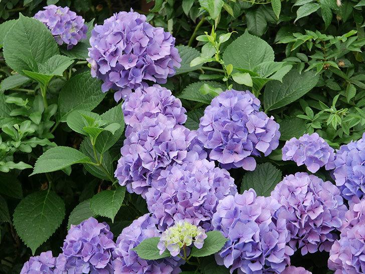 紫のアジサイの花が満開になった。2020年-012.jpg