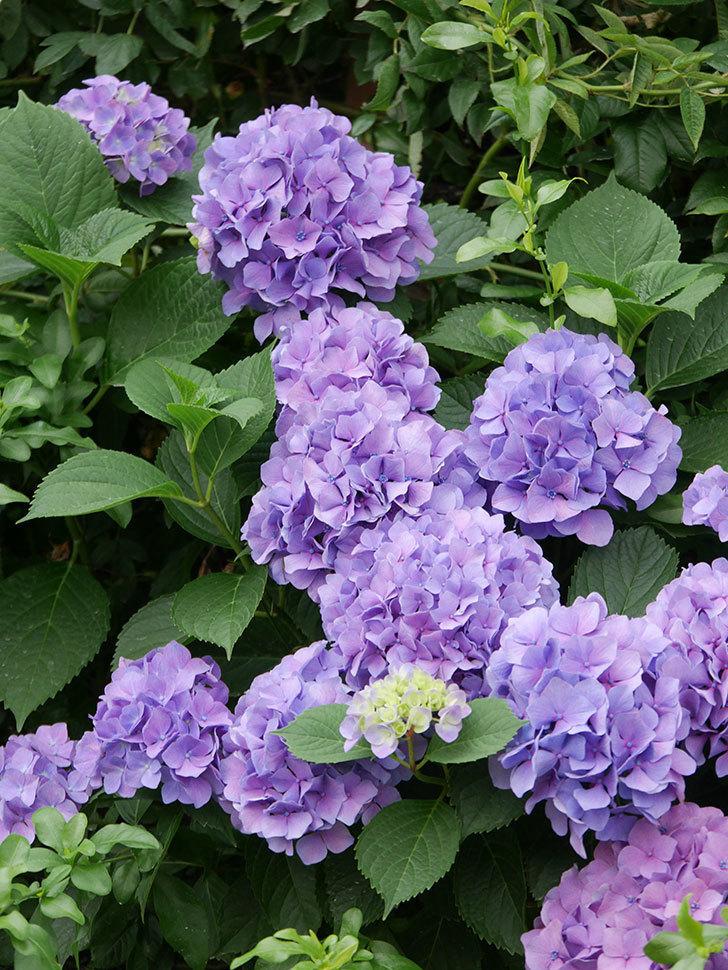 紫のアジサイの花が満開になった。2020年-013.jpg