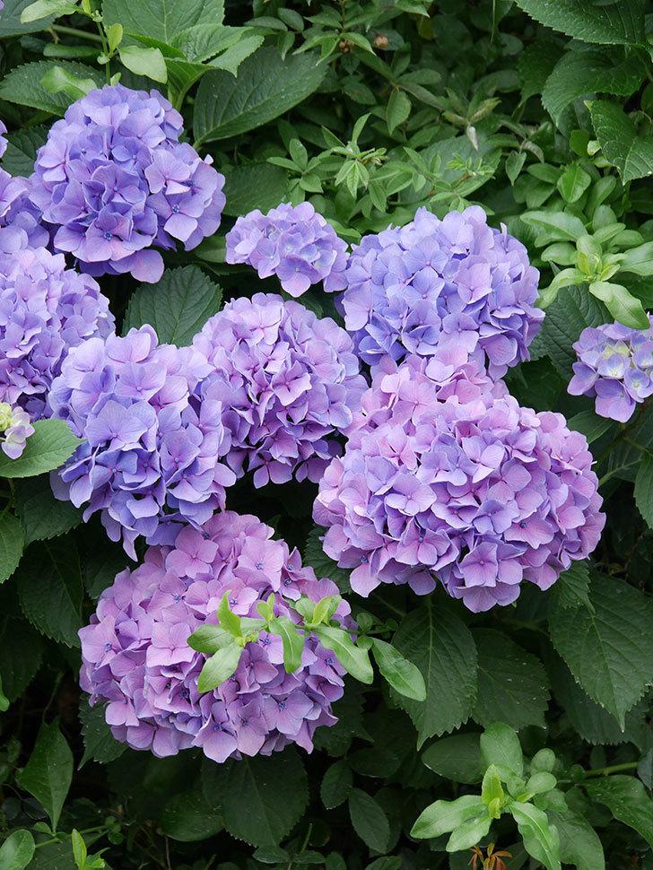 紫のアジサイの花が満開になった。2020年-014.jpg