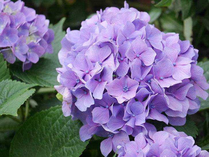 紫のアジサイの花が満開になった。2020年-015.jpg