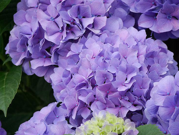 紫のアジサイの花が満開になった。2020年-016.jpg