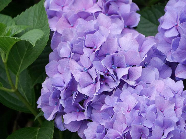 紫のアジサイの花が満開になった。2020年-017.jpg