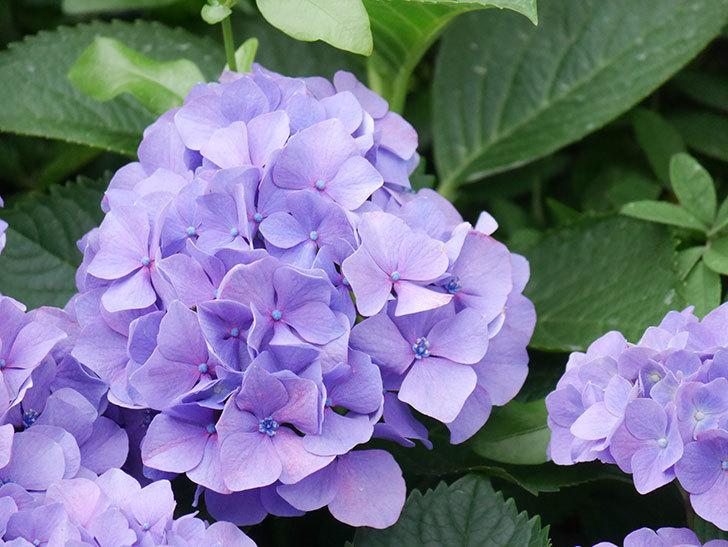 紫のアジサイの花が満開になった。2020年-018.jpg