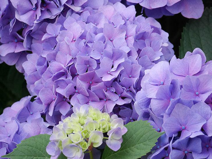 紫のアジサイの花が満開になった。2020年-019.jpg