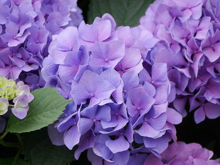 紫のアジサイの花が満開になった。2020年-020.jpg