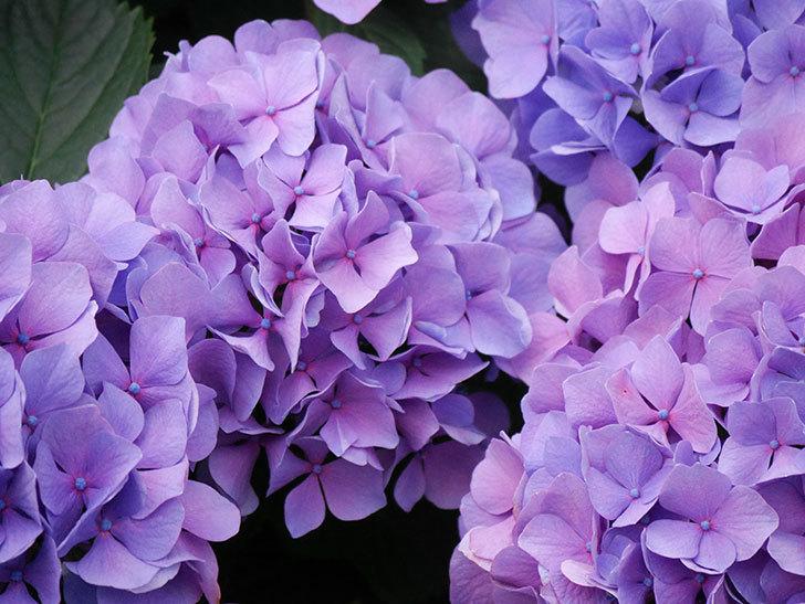 紫のアジサイの花が満開になった。2020年-021.jpg
