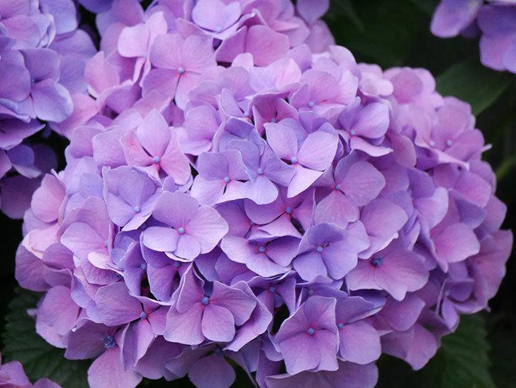 紫のアジサイの花が満開になった。2020年-022.jpg