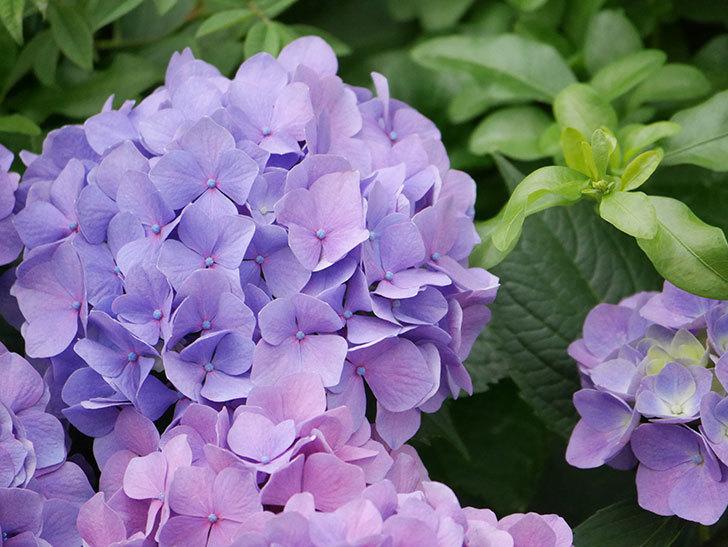 紫のアジサイの花が満開になった。2020年-023.jpg