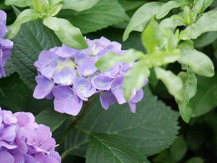 紫のアジサイの花が満開になった。2020年-024.jpg