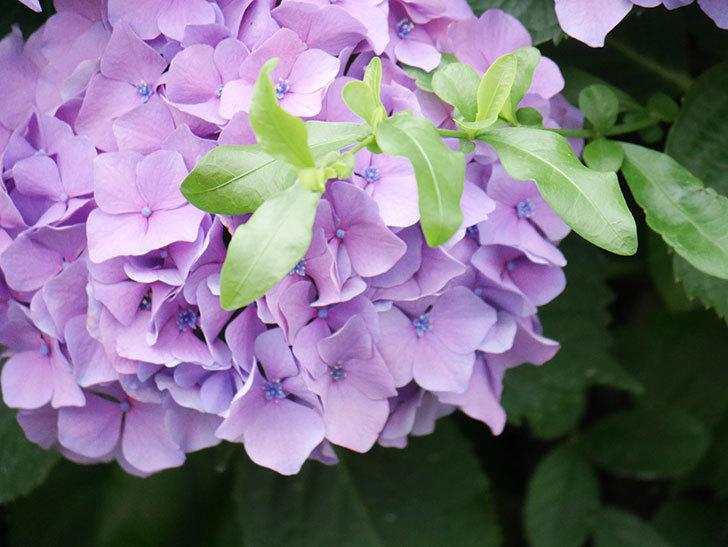 紫のアジサイの花が満開になった。2020年-025.jpg
