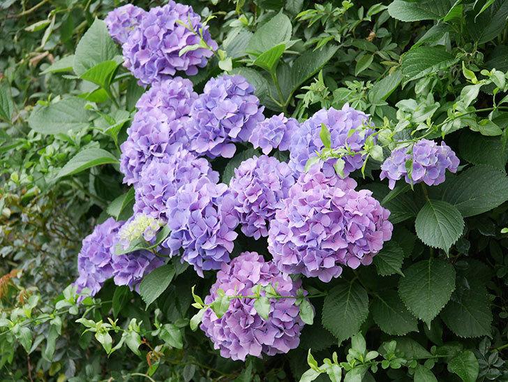 紫のアジサイの花が満開になった。2020年-026.jpg