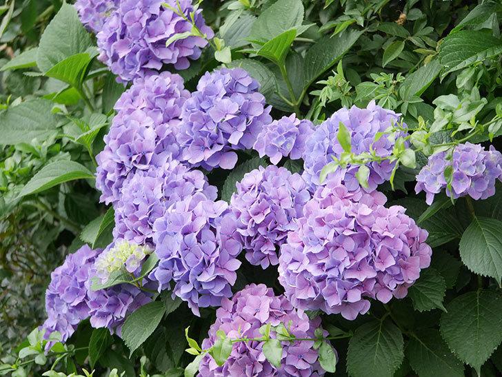 紫のアジサイの花が満開になった。2020年-027.jpg