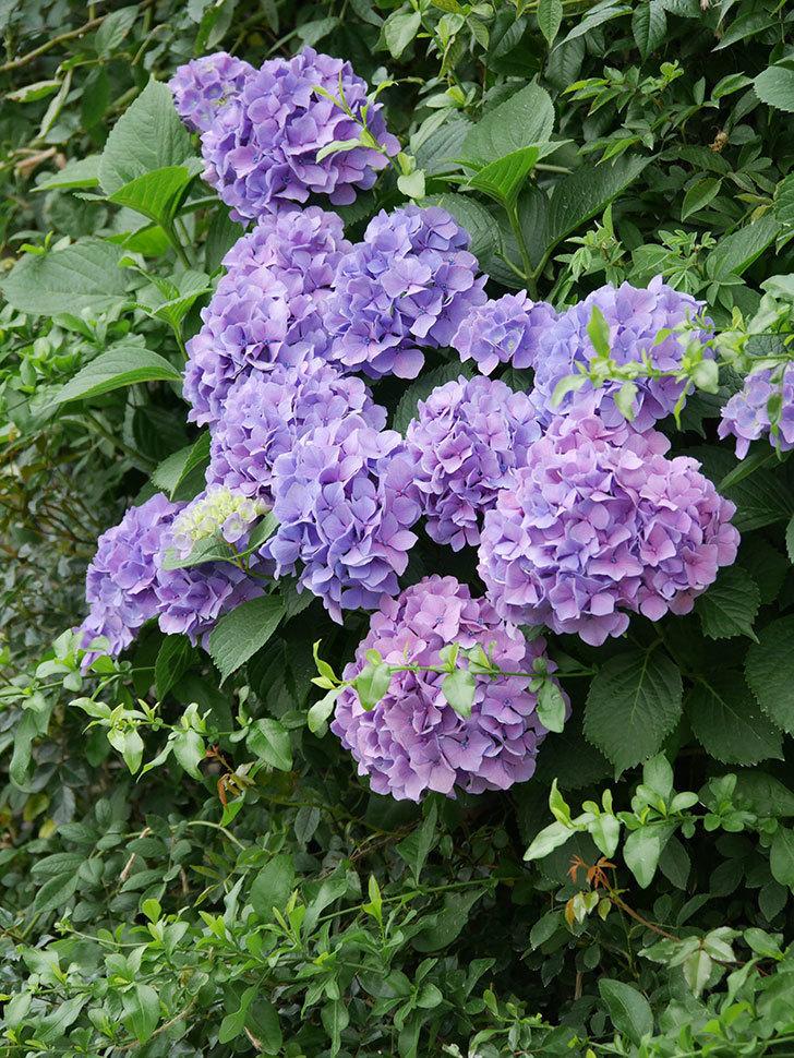 紫のアジサイの花が満開になった。2020年-028.jpg