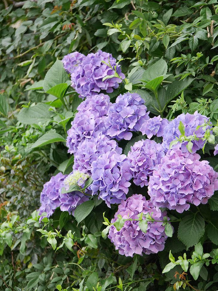 紫のアジサイの花が満開になった。2020年-029.jpg