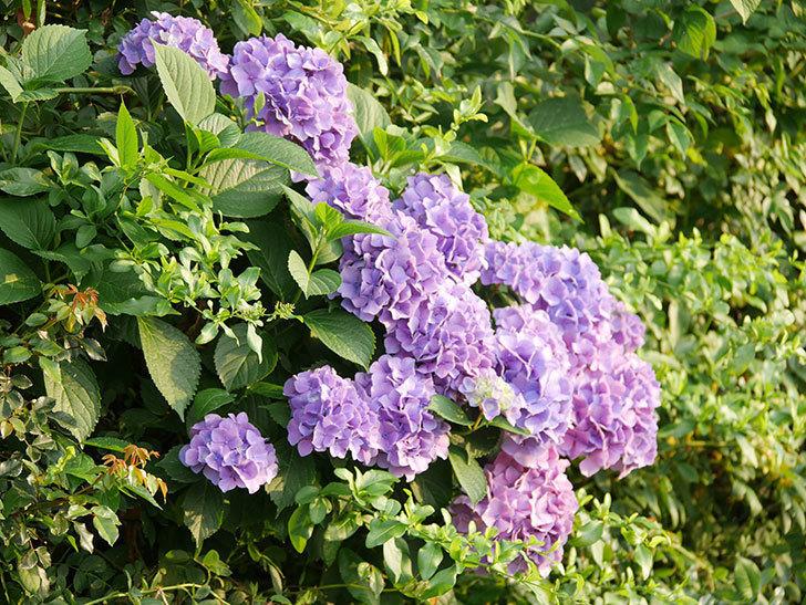 紫のアジサイの花が満開になった。2020年-030.jpg