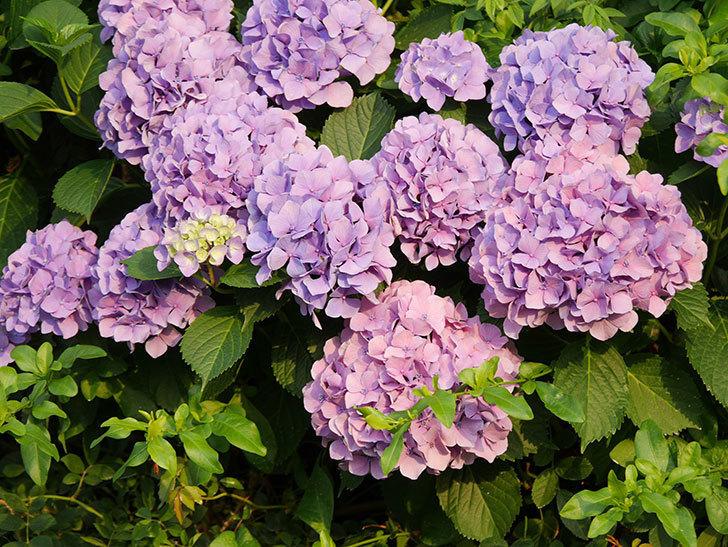 紫のアジサイの花が満開になった。2020年-031.jpg