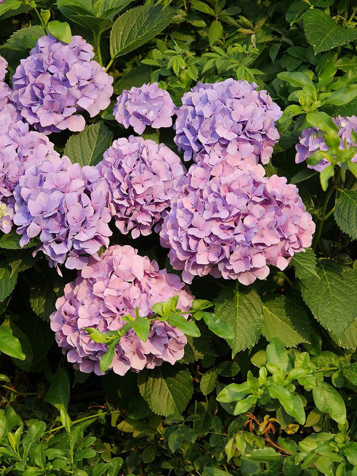 紫のアジサイの花が満開になった。2020年-032.jpg