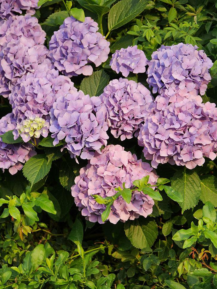 紫のアジサイの花が満開になった。2020年-033.jpg
