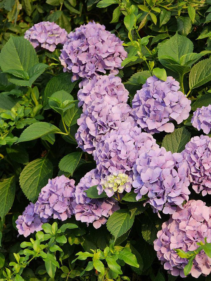 紫のアジサイの花が満開になった。2020年-034.jpg