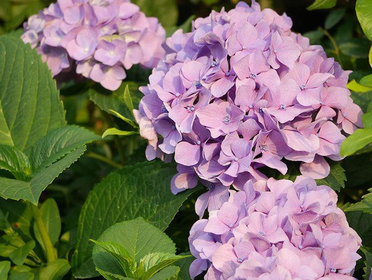 紫のアジサイの花が満開になった。2020年-035.jpg