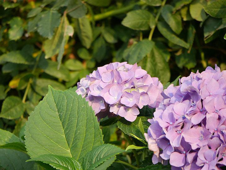 紫のアジサイの花が満開になった。2020年-036.jpg