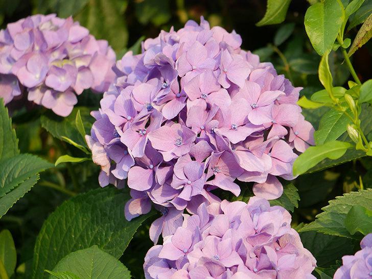 紫のアジサイの花が満開になった。2020年-037.jpg
